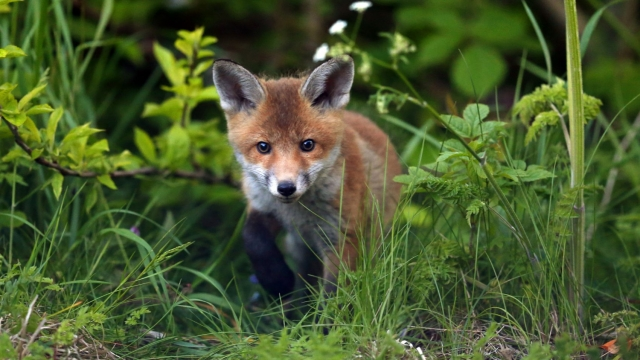 Police are investigating after a fox was reportedly killed during a hunt (Owen Humphreys/PA Wire)