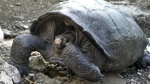 A specimen of the giant Galapagos tortoise Chelonoidis phantasticus, thought to have gone extint about a century ago, is seen at the Galapagos National Park on Santa Cruz Island in the Galapagos Archipelago, in the Pacific Ocean 1000 km off the coast of Ecuador (Photo by Rodrigo BUENDIA / AFP) (Photo credit should read RODRIGO BUENDIA/AFP/Getty Images)