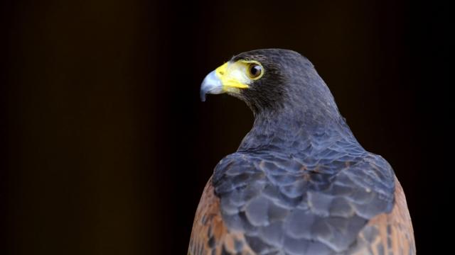 Milo, a Harris Hawk like this one, has been stolen from Heathrow (Photo: Jean-Christophe Verhaegen/AFP/GettyImages)