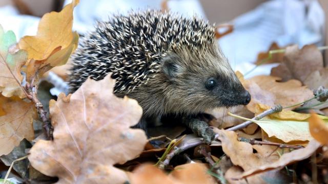 Hedgehog numbers falling