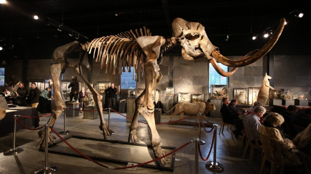 Remains of mammoths revealed much about Doggerland (Photo by Peter Macdiarmid/Getty Images)