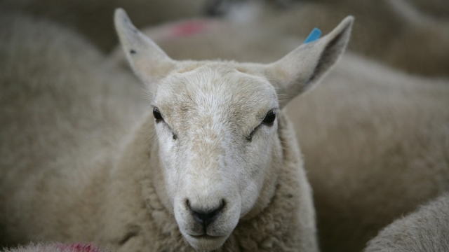 Brazen thieves are harming livestock, a study claims (Photo: Getty)