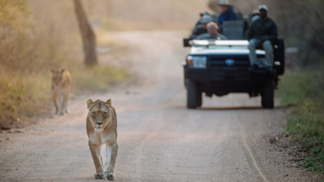 Lions, one of the 'Big Five' animals, walk near an open top safari car in Kapama Private Game Reserve, South Africa (Photo: Kapama Southern Camp)