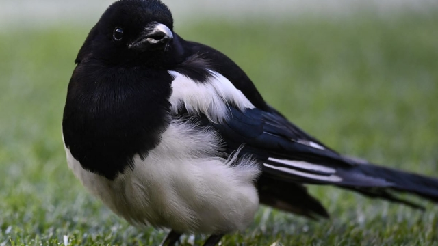 Magpies are amongst the birds on the list (GABRIEL BOUYS/AFP/Getty Images)