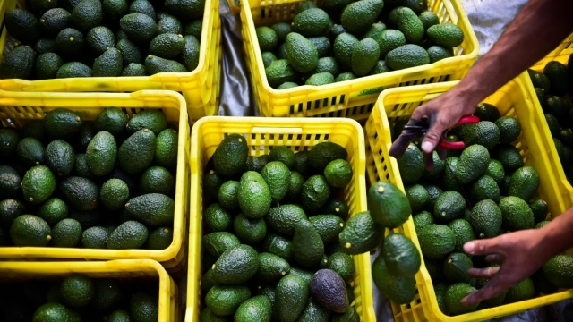 """Mexican avocados have been dubbed """"blood guacamole"""". Photo: Ronaldo Schemidt/ AFP/ Getty"""