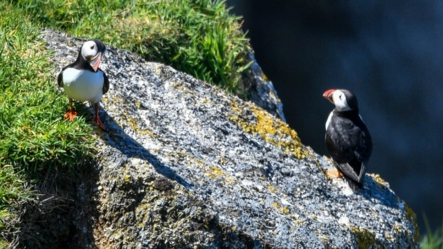 Lundy seabirds puffins