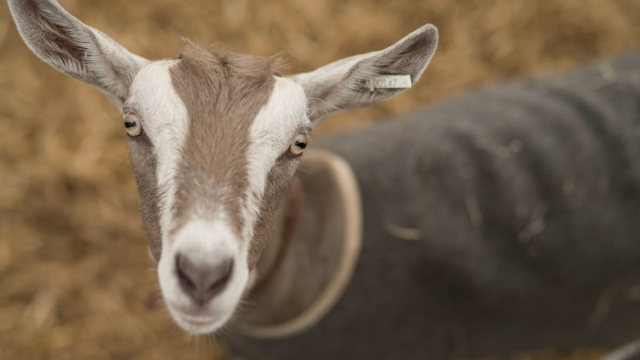 Get to know more about goats at Upper Meend Farm on one of a series of smallholding-for-beginners courses (OLI SCARFF/AFP/Getty Images)