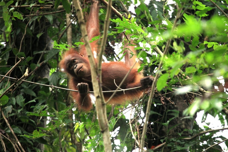Orangutans are critically endangered, with only 55,000 thought to be left in the wild on the Indonesian islandof Borneo (Photo : WWF-Malaysia)