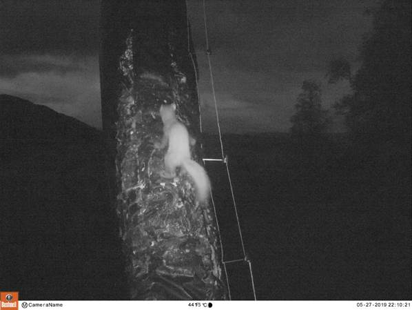 A marten was foiled by grease in its attempt to steal two osprey eggs in the Scottish Highlands