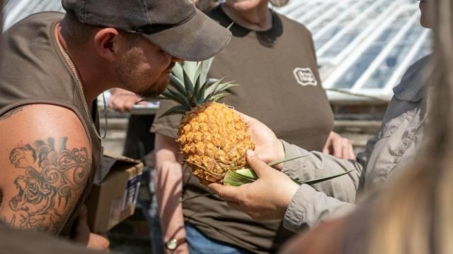 Pineapple Cornwall