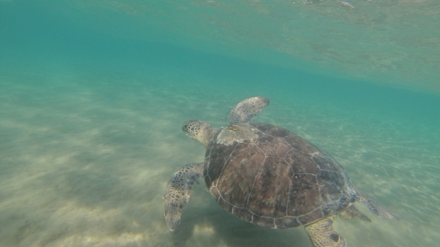 A green turtle swimming off Cyprus (Photo: Emily Duncan/PA Wire)