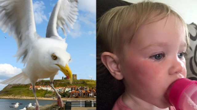 The gull vs the toddler (Photo: SWNS)