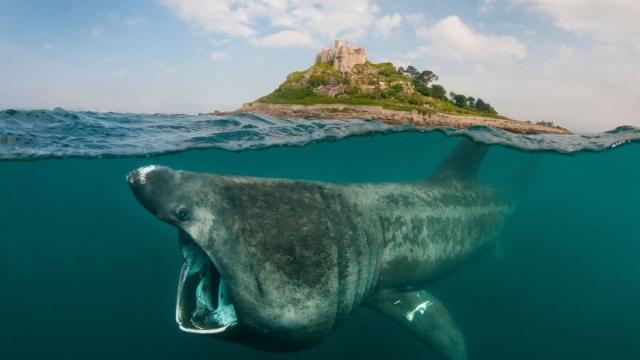 Basking shark feeding on plankton around St Michael's Mount, Cornwall