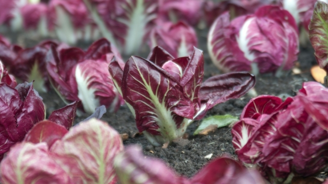 Red chicory radicchio at Wisley makes great autumn salad and is also an underrated cooked vegetable from sowings made now, either in cell trays, seedbeds or sown where they are to grow