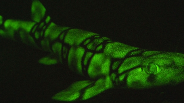 The protein creates a mysterious green hue that helps sharks, including catsharks, recognise each other in different marine environments