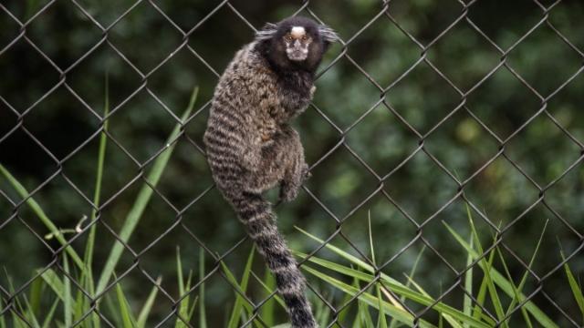 A marmoset monkey climbs a fen