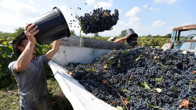 Workers harvest grapes at a vineyard near the village of Vachnadziani in Georgia's Kakheti region (Photo: Vano Shlamov/AFP/Getty Images)