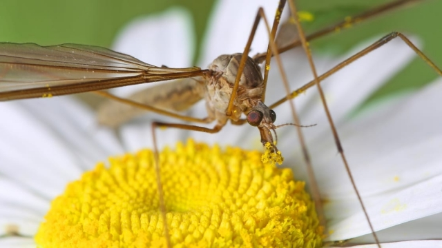 A Cranefly or daddy-long-legs sit on daisy