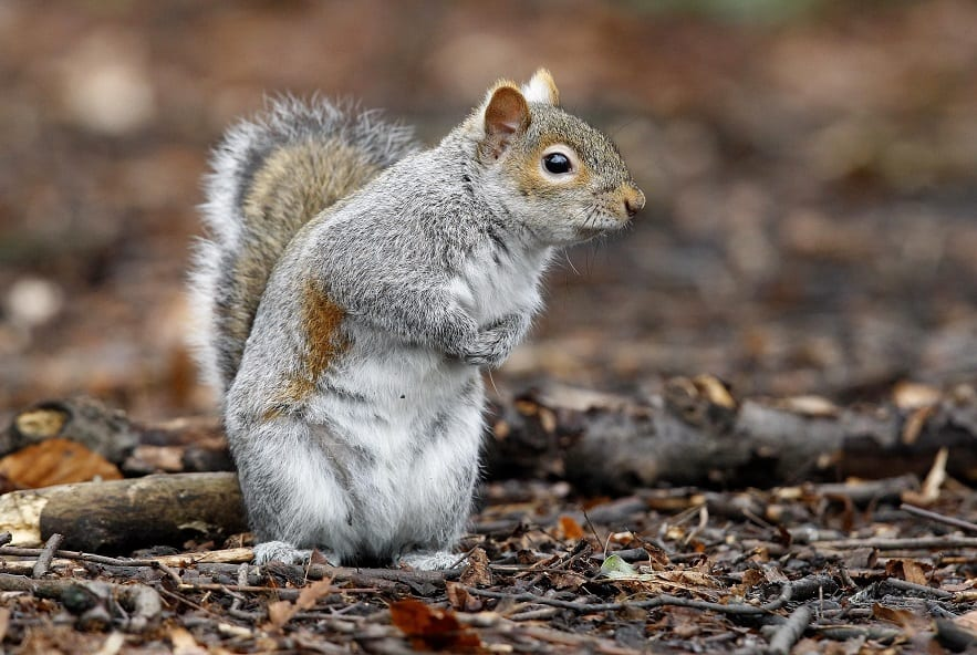 Genetically altering grey squirrel fertility could help the native red say scientists