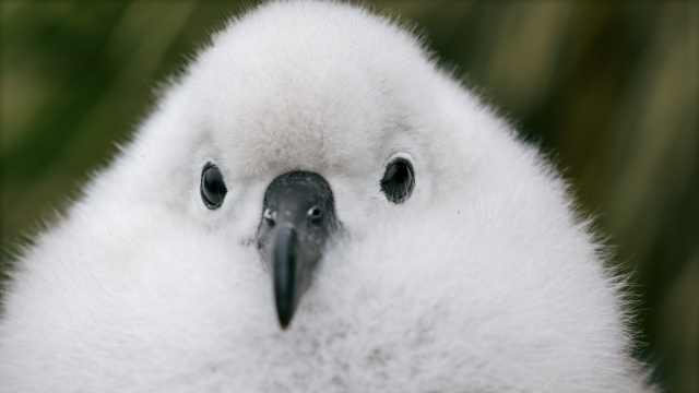 A grey-headed albatross chick waits for its parents to return with food