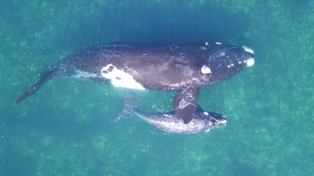 The drone measurements could be handy for keeping an eye on growing whale calves (Photo: Fredrik Christiansen)BRITISH ECOLOGICAL SOCIETY