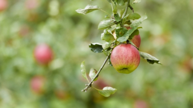Apples naturally grow into unwieldy 10m trees