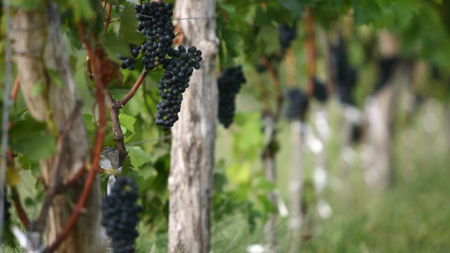 Grapes growing in a vineyard owned by France's Domaine Barons de Rothschild, maker of the renowned Chateau Lafite reds, in east China's Shandong province (Photo: /AFP/Getty Images)