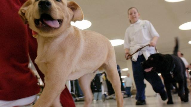 A guide dog walks through an airport