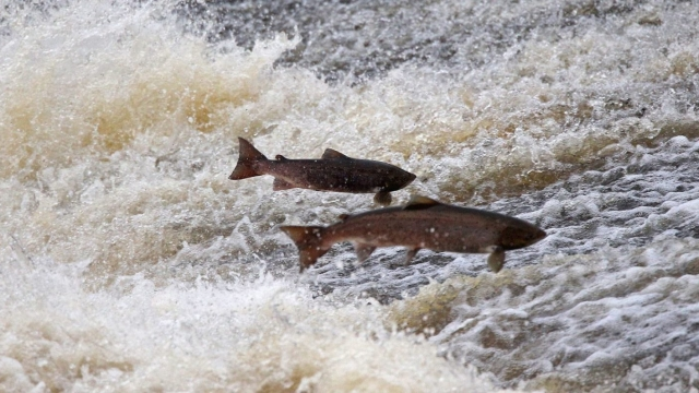 Salmon attempt to leap up the fish ladder in the river Etterick in Selkirk, Scotland (Photo: Jeff J Mitchell/Getty Images)