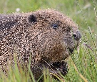 The Wildlife Trusts have lead beaver reintroduction into parts of the UK