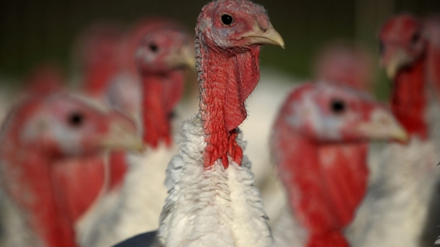 Fewer turkeys have hatched this year due to the weather