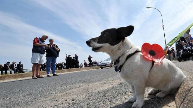 A dog wears a remembrance poppy. Pups in poppies have become a familiar sight in the past two years (Photo: MYCHELE DANIAU/AFP via Getty Images)