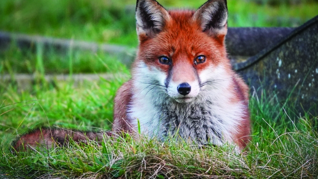 On any given night, a fox will encounter many cats, and the normal outcome is for the two animals to ignore each other