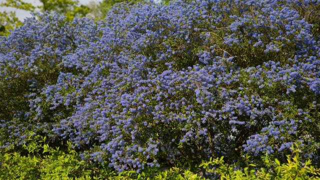 Ceanothus 'Italian Skies' in bloom