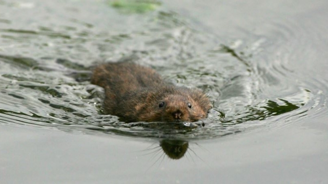 Sudden flooding this summer caused the loss of young water voles who could not swim (Photo: Getty)