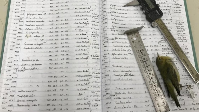 One of the Dave Willard's recording ledgers, alongside his measuring tools for the study and a Tennessee Warbler (Photo: Field Museum/Kate Golembiewski)