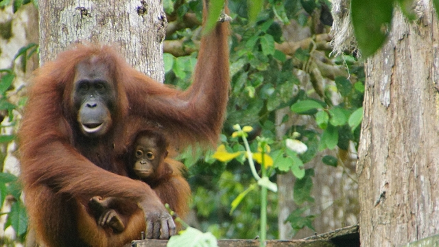 Article thumbnail: A mother with her baby in the Borneo rainforest (photo: Sabah Tourism / Heinz Rickers)