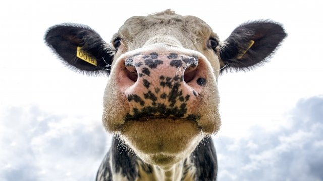 Black and white dairy cow's face up close