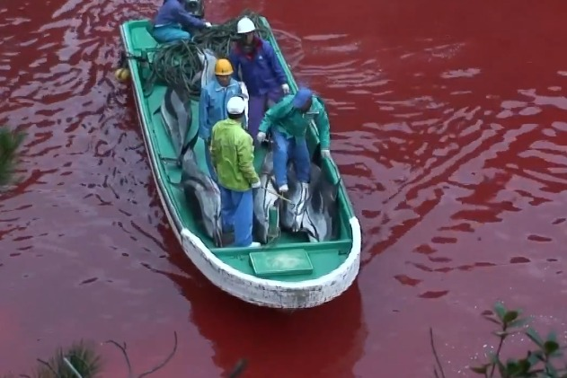 A still of footage captured in Taiji, Japan by Oceanic Preservation Society for the film The Cove (Photo: Oceanic Preservation Society)