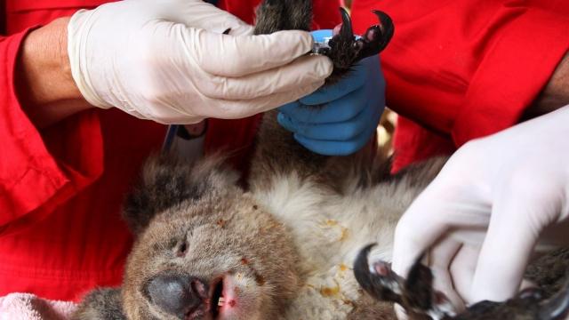 An injured koala is treated at the Kangaroo Island Wildlife Zoo
