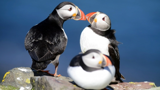 Puffins are facing an increasingly climate threat as storms become wilder and food scarcer