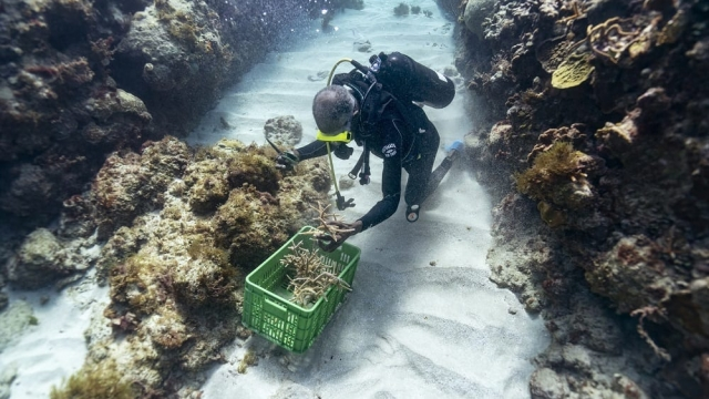 Diver Everton Simpson grabs a handful of staghorn, harvested from a coral nursery