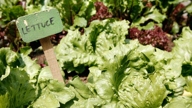 The case against lettuce (Photo: Cate Gillon/Getty)