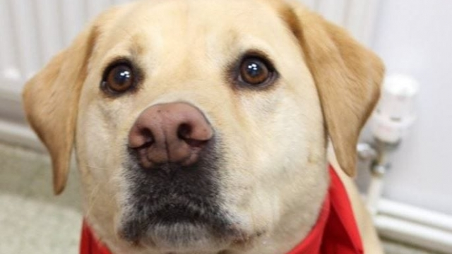 Stumpy the Labrador helped to save the lives of up to 120 dogs