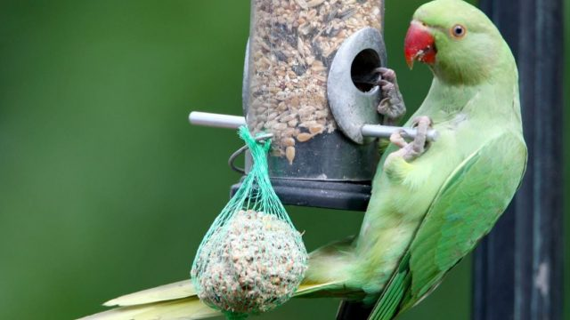 The parrot's incessant singing was 'torture', the widow's neighbour said (Photo: Getty)
