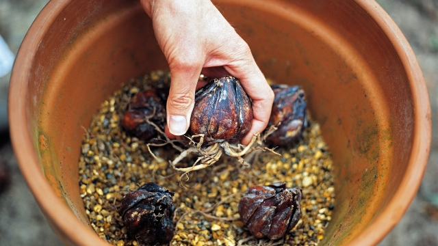 Planting lily bulbs in a container