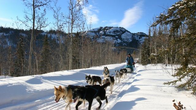 husky sledding in the yukon territory