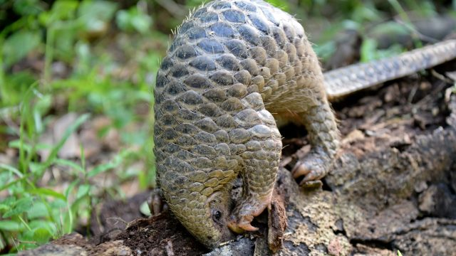 A baby pangolin feeds on termites in Indonesia
