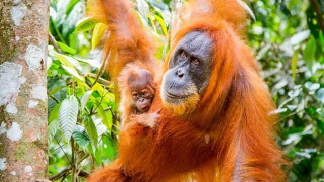 New series Primates explores the lives of our closest animal relatives (Photo: BBC)