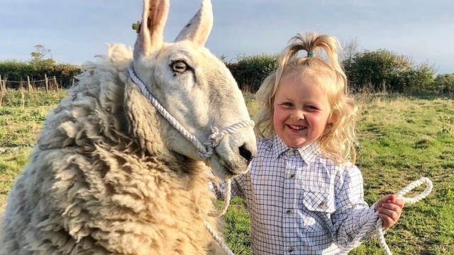Three year old Barley Brook Sellar expertly handling a sheep called Ethel.